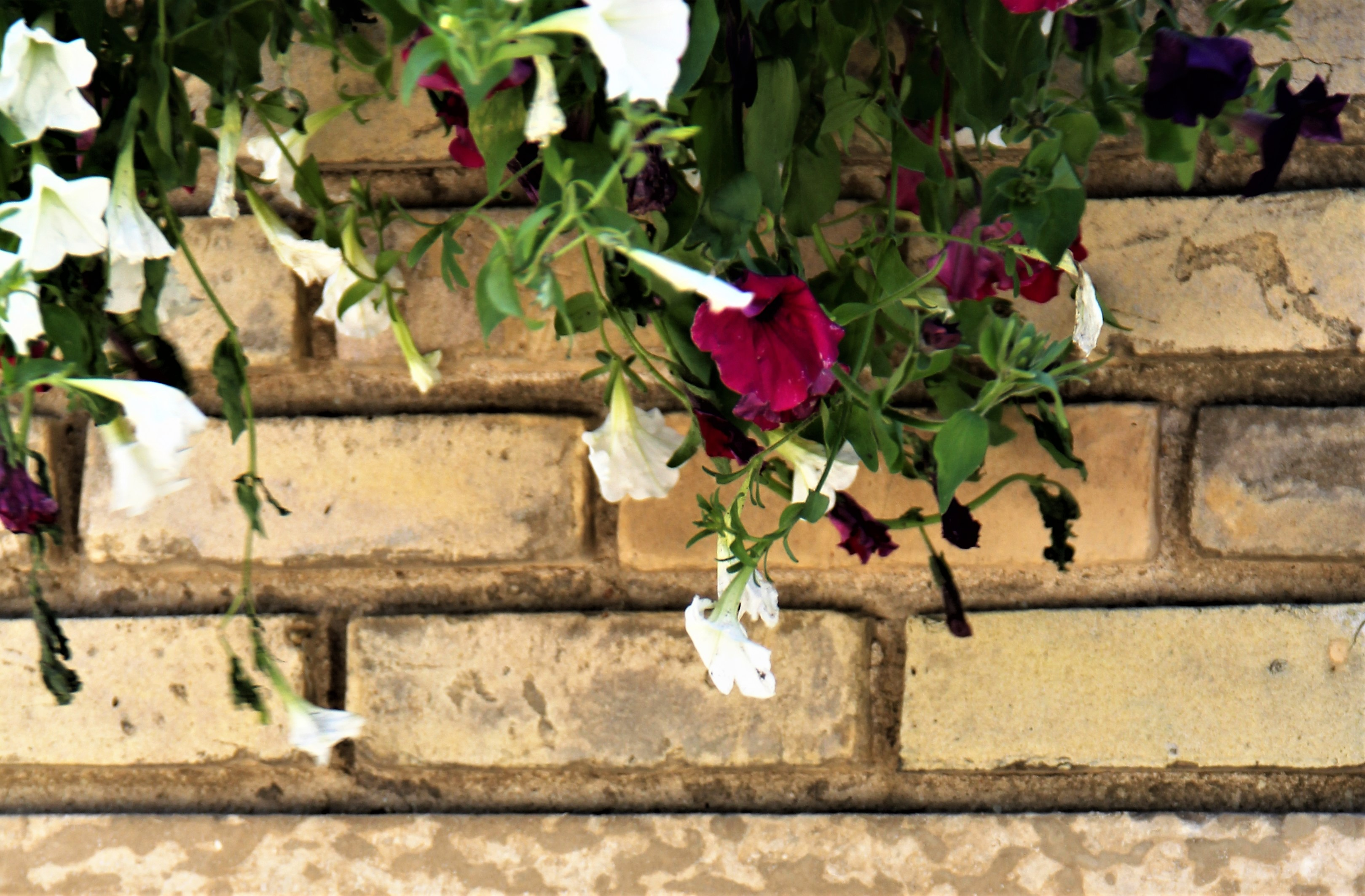Flowers along a brick wall